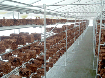 市販の鉄パイプを利用した棚のしいたけ栽培例