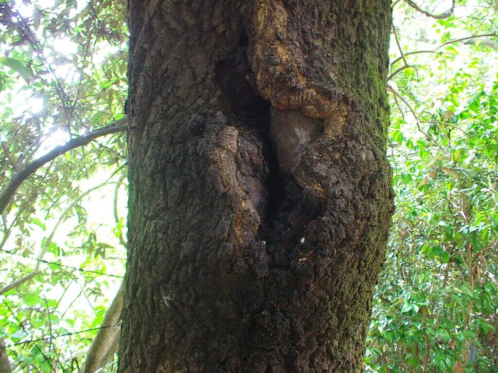 クヌギの木ってどんな木?   ク...
