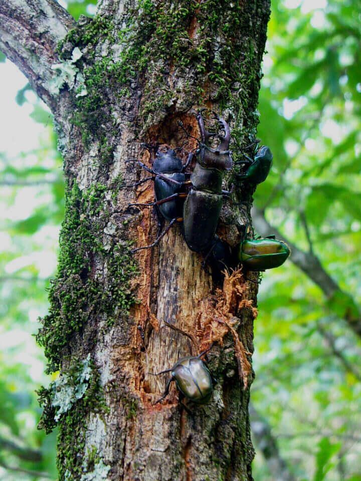 クヌギの樹皮裏に集まるミヤマペア、他