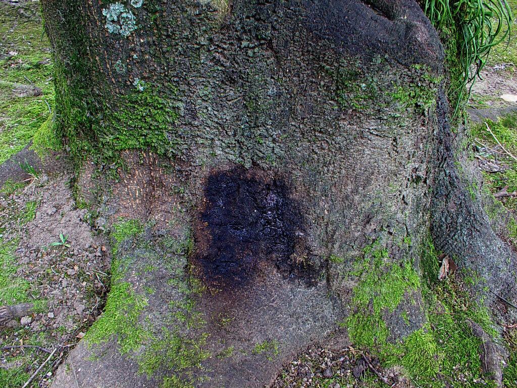 シラカシ樹液1