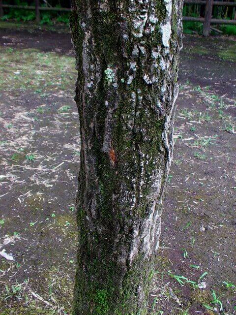 コナラ樹皮1