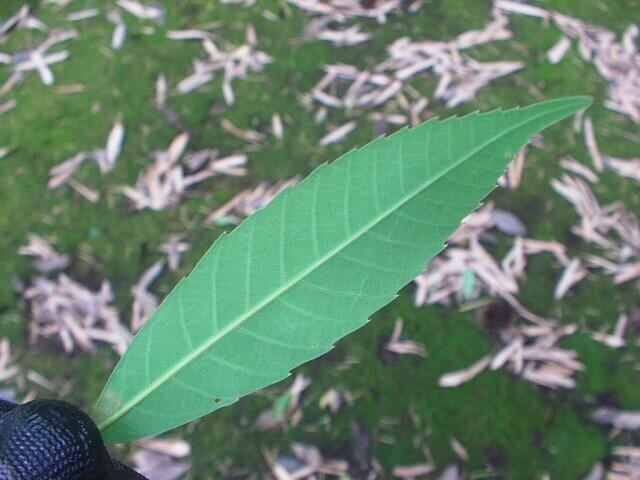 コナラの葉・裏