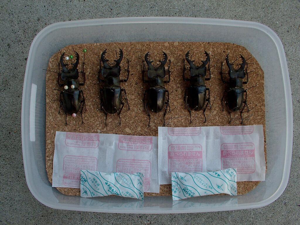 ミヤマ標本乾燥1