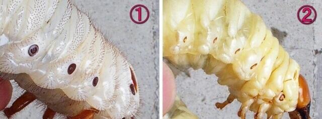 クワカブ幼虫違い2