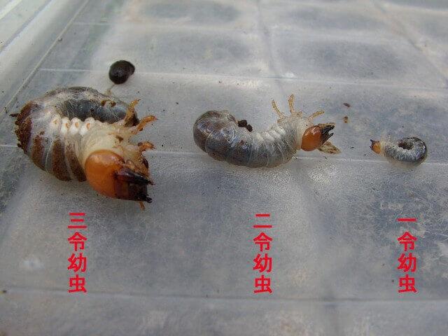 幼虫令数比較