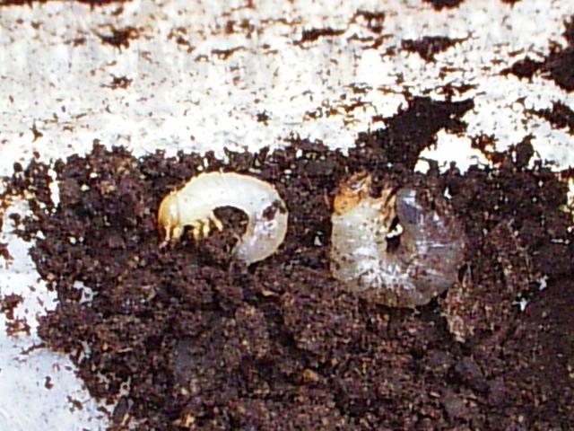カブトムシ幼虫病気