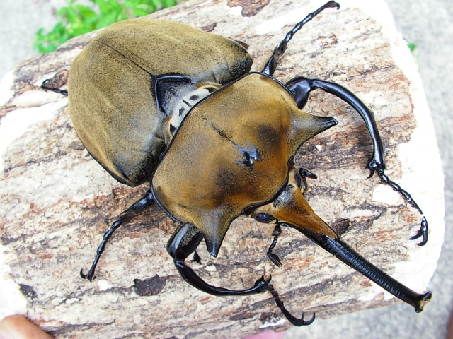 ゾウカブト エレファント カブトムシの寿命はどのくらい?ギネス記録や死ぬ前の兆候とは