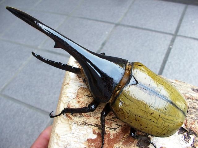 ひっくり返る カブトムシ