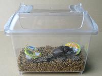 国産カブトムシ成虫飼育、フタをしたところ