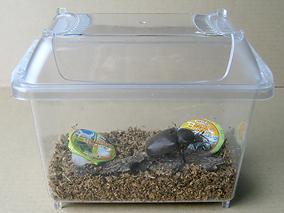 国産カブトムシ成虫飼育方法
