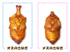 国産カブトムシの蛹(さなぎ)オスメスの違い