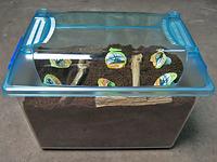 国産カブトムシ産卵セット方法