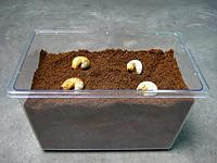 国産カブトムシ幼虫飼育方法