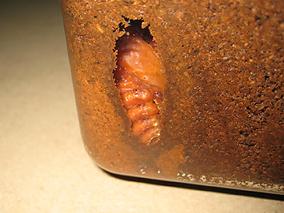 ケースの中に蛹室を作ってさなぎになった国産カブトムシ