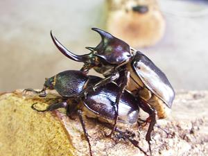 カブトムシに卵を産ませる