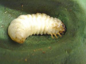 蛹になる直前のオオクワガタ