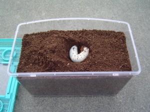 カブトムシ幼虫飼育