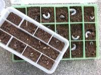 割り出した幼虫の管理