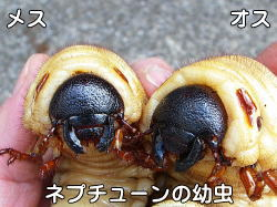 の メス カブトムシ